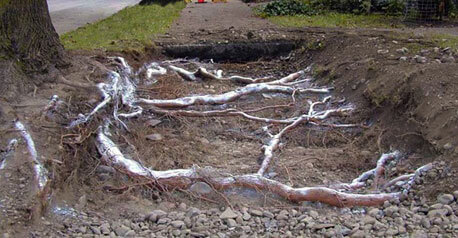 Tree Roots Damaging Concrete